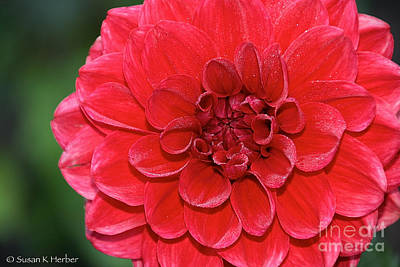 Photograph - Dahlia's Dew by Susan Herber