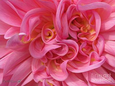 Photograph - Dahlia Named Otto's Thrill by J McCombie