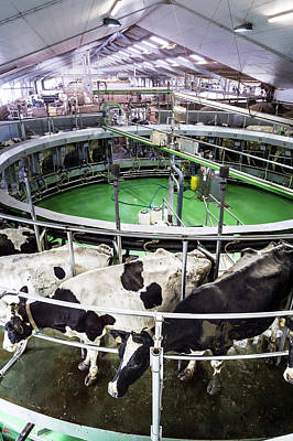 Industry And Production Photograph - Dairy Cows by Aberration Films Ltd
