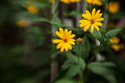 Photograph - Daisies by Celso Bressan