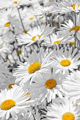 Flower Closeup Photograph - Daisies In Garden by Elena Elisseeva