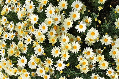 Photograph - Daisies by Pamela Walrath