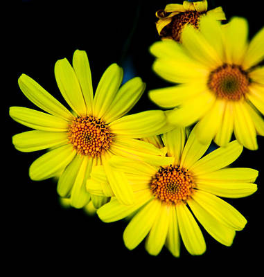 Photograph - Daisy by Carole Hinding