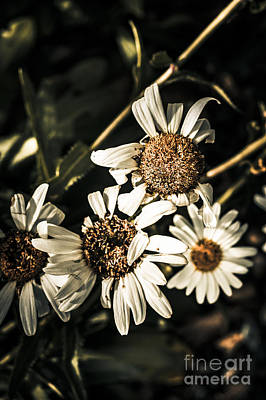 Photograph - Daisy Flowers Dying Slow Death. Pushing Up Daisies by Jorgo Photography - Wall Art Gallery