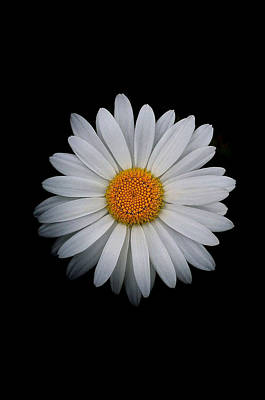 Photograph - Daisy On Black 02 by Bill Owen
