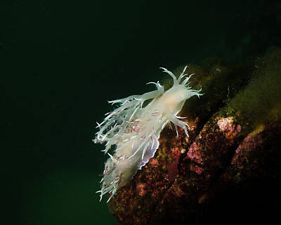 Photograph - Dalls Dentronotid Nudibranch At Quadra by Brent Barnes