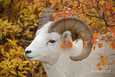 Photograph - Dalls Sheep Ram In Denali by Yva Momatiuk and John Eastcott