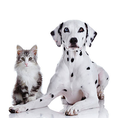 Dalmatian Dog And Norwegian Forest Cat Art Print by Tetsuomorita