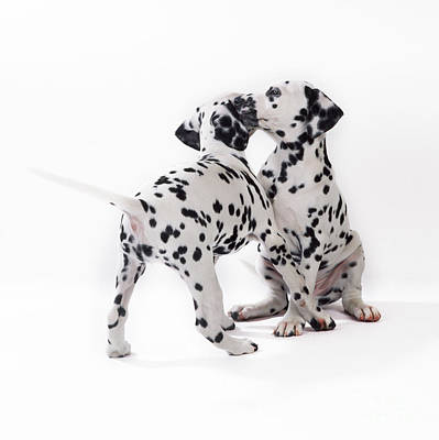 Two Dalmatian Photograph - Dalmatian Puppies by John Daniels