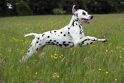 Photograph - Dalmatian Running by John Daniels
