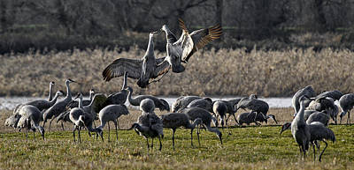 Photograph - Dance Of The Cranes by Wes and Dotty Weber