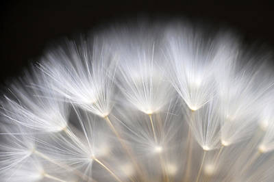 Photograph - Dandelion Backlit Close Up by Jim Corwin