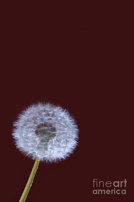 Dandelion Digital Art - Dandelion by Donald Davis