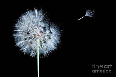 Daydreams Art Photograph - Dandelion Dreaming by Cindy Singleton