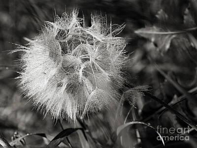 Photograph - Dandelion Due  by Cindy Singleton