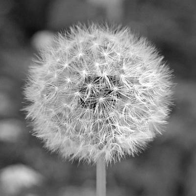Square Photograph - Dandelion Gone To Seed by Brooke T Ryan