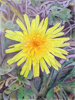 Drawing - Dandelion by Linda Pope