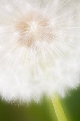 Nature Abstracts Photograph - Dandelion Seedhead Noord-holland by Mart Smit