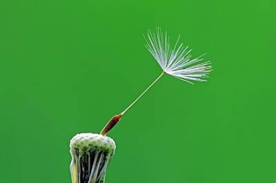 Dandelion (taraxacum Officinale) Seedhead Art Print by Bildagentur-online/mcphoto-schulz