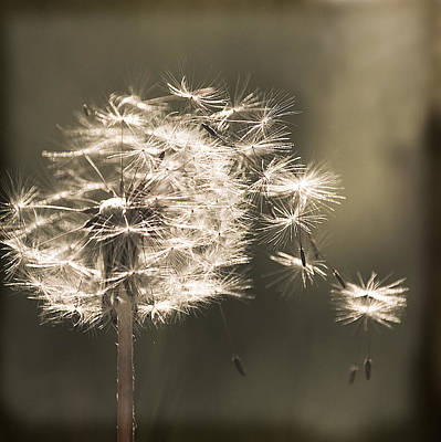Print featuring the photograph Dandelion by Yulia Kazansky