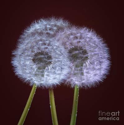 Dandelions Art Print by Donald Davis