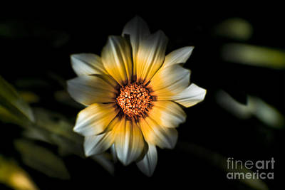 Dark Daisy Flower Art Print by Jorgo Photography - Wall Art Gallery