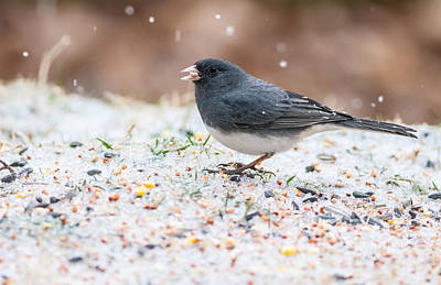 Photograph - Dark Eyed Junco by Melinda Fawver