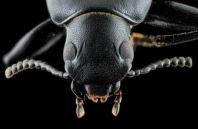 Darkling Beetle Art Print