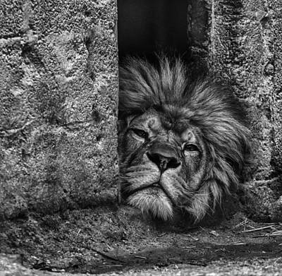 Panthera Photograph - Day Of Rest by Nigel Jones