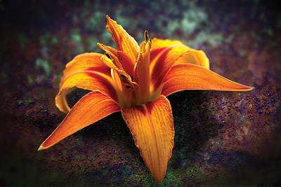 Photograph - Daylily by David Davies