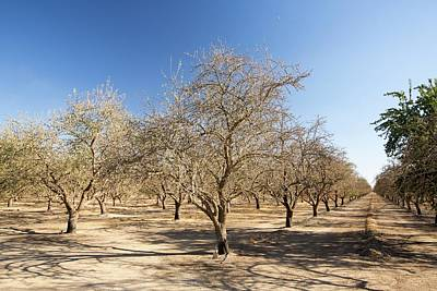 Dead And Dying Almond Trees Print by Ashley Cooper