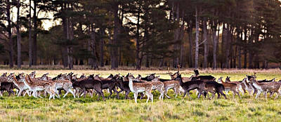 Photograph - Deer In The Phoenix Park - Dublin by Barry O Carroll