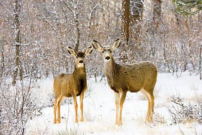 Mule Deer Herd Photograph - Deer In The Snowy Woods by Steve Krull