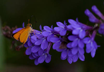 Photograph - Delaware Skipper Butterfly by Melinda Fawver