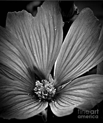 Photograph - Delicate Bw by Chalet Roome-Rigdon