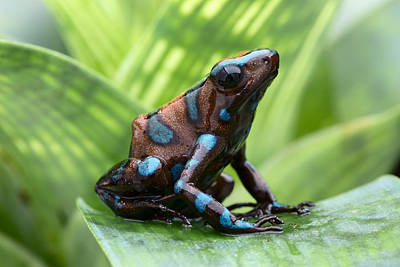 Panama Frog Photograph - Dendrobates Auratus Camouflage by Dirk Ercken