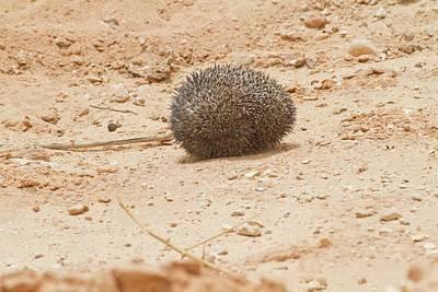Desert Hedgehog (paraechinus Aethiopicus) Art Print by Photostock-israel