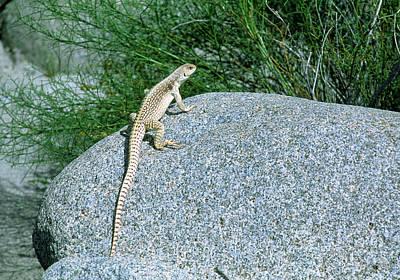 Iguana Wall Art - Photograph - Desert Iguana (dipsosaurus Dorsalis) On A Rock by William Ervin/science Photo Library