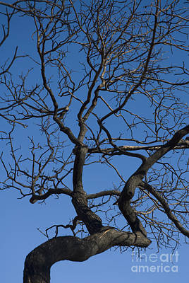 Photograph - Desert Scrub Oak by Dan Suzio