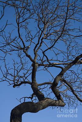 Photograph - Desert Scrub Oak by Dan Suzio