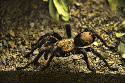 Photograph - Desert Tarantula by Mark Newman