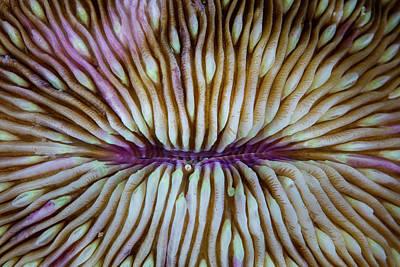 Detail Of A Mushroom Coral Fungia Sp Art Print
