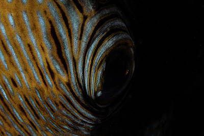 Photograph - Detail Of The Eye Of A Blue-spotted by Ethan Daniels