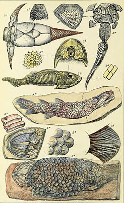 Photograph - Devonian Fossils, Illustration by British Library