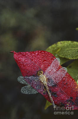 Dew-covered Dragonfly Art Print by Larry West