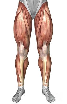 Rectus Femoris Digital Art - Diagram Illustrating Muscle Groups by Stocktrek Images