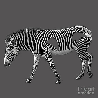 Diamond In The Rough Zebra Art Print by Marvin Blaine