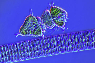 Diatom Photograph - Diatoms And Desmids by Marek Mis