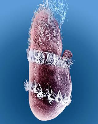 Photograph - Didinium Ingesting Paramecium 3 Of 5 by Greg Antipa