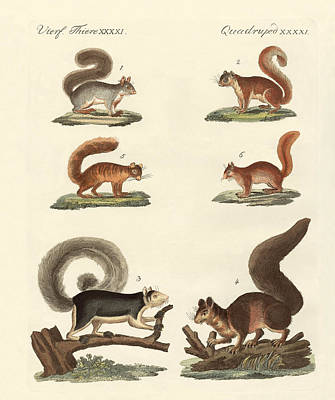 Red-tailed Squirrel Drawing - Different Kinds Of Squirrels by Splendid Art Prints